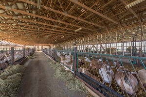 SOLD: Modern ONGOING Dairy Goat Operation in Dutton/Dunwich! London Ontario image 6