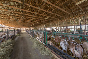 Modern ONGOING Dairy Goat Operation in Dutton/Dunwich! London Ontario image 6