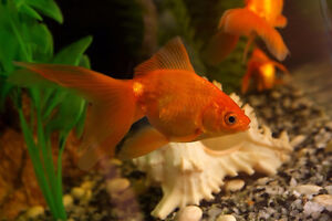Lonely goldfish seeking a home with friends