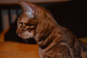 500.00 REWARD LOST YOUNG MALE BENGAL ROSETTE NEUTERED London Ontario image 9