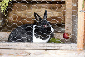 3 Dutch dwarf bunnies, & Hutch Peterborough Peterborough Area image 3