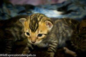 Registered Purebred Bengal Kittens Avail