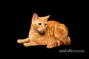 AK1092: Gus - CAT for ADOPTION - Vet work included Canning Vale Canning Area Preview
