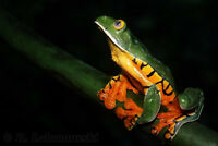 Cruziohyla Calcarifer frogs beautiful and rare!