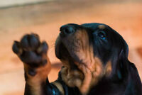 Purebred Old Fashioned American Black and Tan Coonhound Puppies
