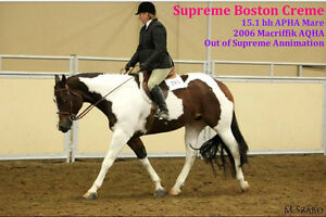 Supreme Boston Creme APHA Mare - For Sale