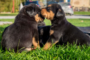 Lab/Rottweiler puppies