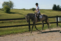 Stunning Dapple Grey Gelding For Sale