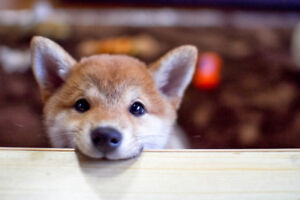Looking for Red Shiba inu puppy!
