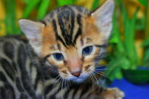 Bengal Kitten Available (TICA REGISTERED MALE)