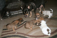 chihuahua/ jack russel pupps for sale