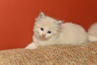 Gorgeous Ragdoll Kittens