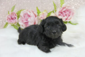 ❤︎ Gorgeous Havanese Puppies ready to go soon! ❤︎