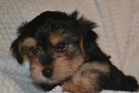 """Morkie Puppy for Sales,  ONE"""" Male: - NBSPCA LICENSE # 0694"""