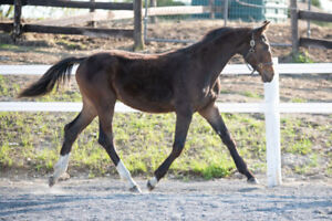 Stunning Warmblood Colt-price reduced