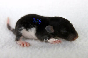 Baby Male Rats - Dumbos, Hairless, and Standard Coats