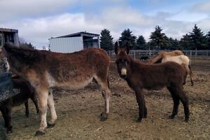 Rare Mammoth brown/black donkey colt, show quality