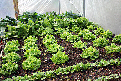 1000 TOM THUMB BUTTERHEAD LETTUCE 2018 (all non-gmo heirloom vegetable seeds!)