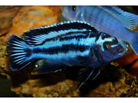 Fish Electric Blue