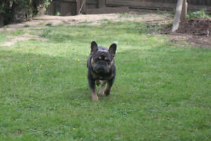 Beautiful Pure Bred French Bulldog Puppies for sale