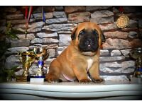 Central Adian Shepherd x Dog de Bordeaux puppies