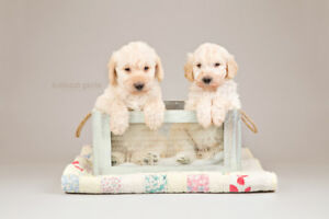 Beautiful LABRADOODLE Puppies FOR SALE In Ontario!