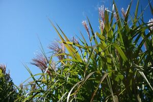 Living Fence - Miscanthus Ornamental Grass
