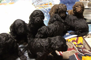 BARBET:  French Water Dog Puppies