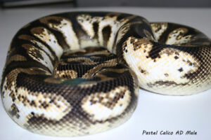 Calico Pastel Ball Adult