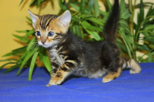 TOP QUALITY HIGHLY CONTRASTED MARBLE BENGAL FEMALE (REG'D)
