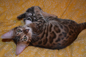 500.00 REWARD LOST YOUNG MALE BENGAL ROSETTE NEUTERED London Ontario image 8