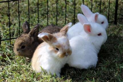 PURE BRED MINI LOP BUNNIES FOR SALE! Beecroft Hornsby Area Preview
