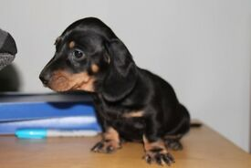 Miniature Dachshund Sausage Dog puppies