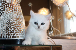 British Shorthair silver chaded female Pure Breed