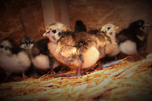 Purebred Heritage Breed Black Australorp Chicks  Organic Raised