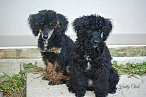Three Poodle Pups