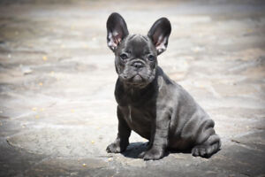 Premium Show Quality Reg'd French Bulldogs Blue Fawn Black Red