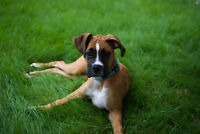 PureBred Male Boxer Puppy- 4 Months old