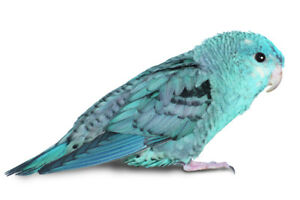 ISO 2 lineolated parakeets