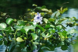 Aquatic Pond Plants and Butterfly Koi for sale