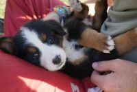 Beautiful Bernese Mountain Dog Puppies