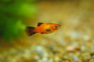 Aquarium fish: Platies Sunset Wagtail and Red Mickey Mouse