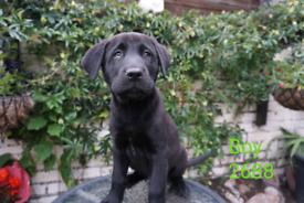 Labrador husky mix puppies for sale