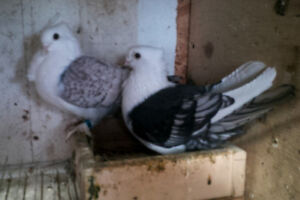 pigeons satinette for sale