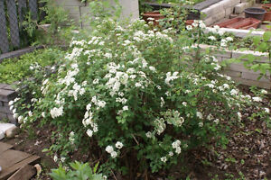 Two large white flowering bushes for sale