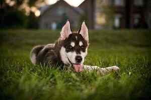 I am Looking for a Black and white male Husky Puppy London Ontario image 3