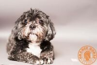 FOR ADOPTION-2 Senior bonded shih tuz