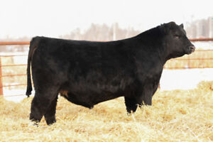 Black Angus and Red Simmental Bulls -Yearlings and Two Year Olds