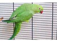 Green baby Indian ringneck parrot bird