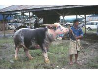 TW10 Type Tiertreiber Viehtreiber Modell 2020 Aufzucht Kuh Schwein Bulle AKTION